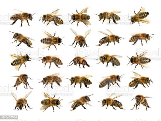 Group of bee or honeybee on white background honey bees picture id843452074?b=1&k=6&m=843452074&s=612x612&h=hfvapqcucklbzwptou76wlbapnge5aj90l4eklicnbw=