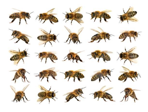 Group of bee or honeybee on white background honey bees picture id843452074?b=1&k=6&m=843452074&s=612x612&w=0&h=nnycnw0yjfoyjvzktrwlizjsnfh6egybkidnkhj1zdw=