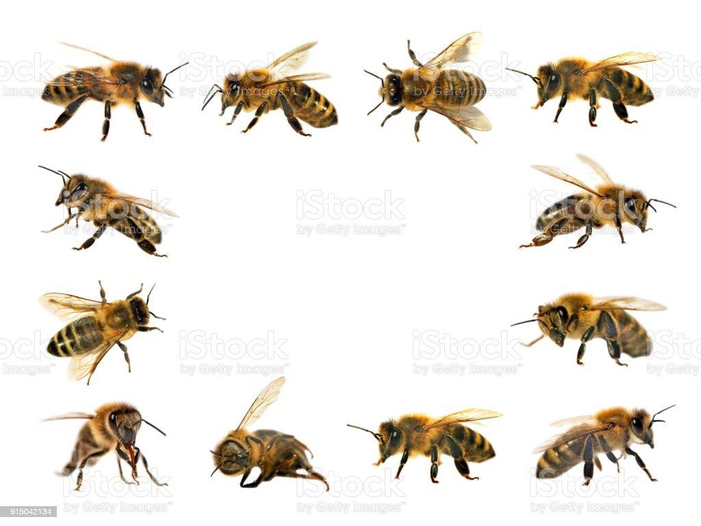 Gruppe Von Biene Oder Honigbiene Auf Weißem Hintergrund Honigbienen ...