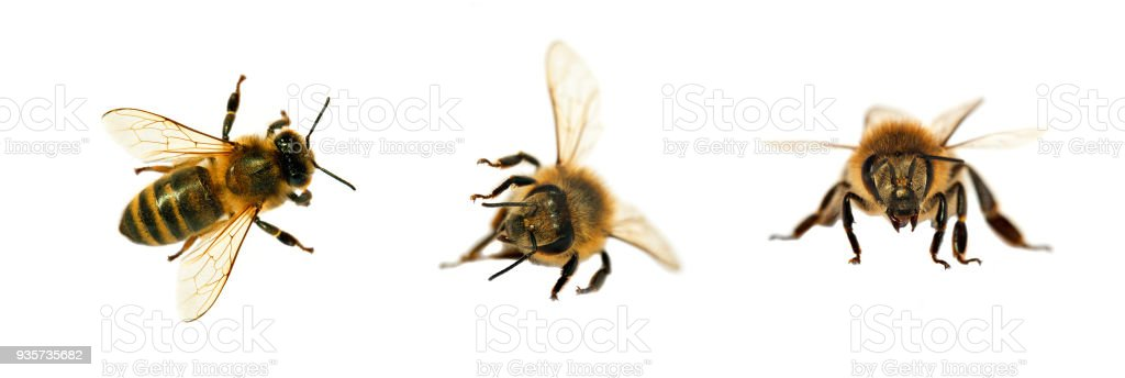 group of bee or honeybee on white background, honey bees stock photo