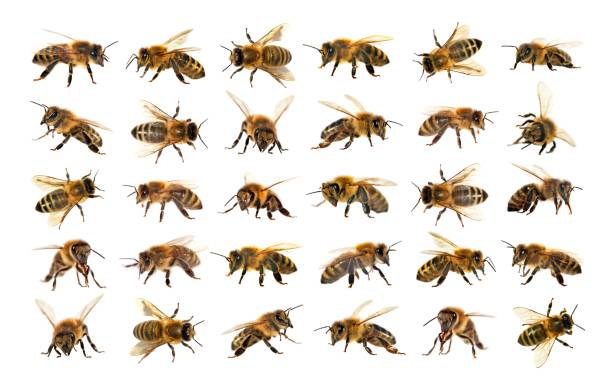 group of bee or honeybee on white background, honey bees - ape foto e immagini stock