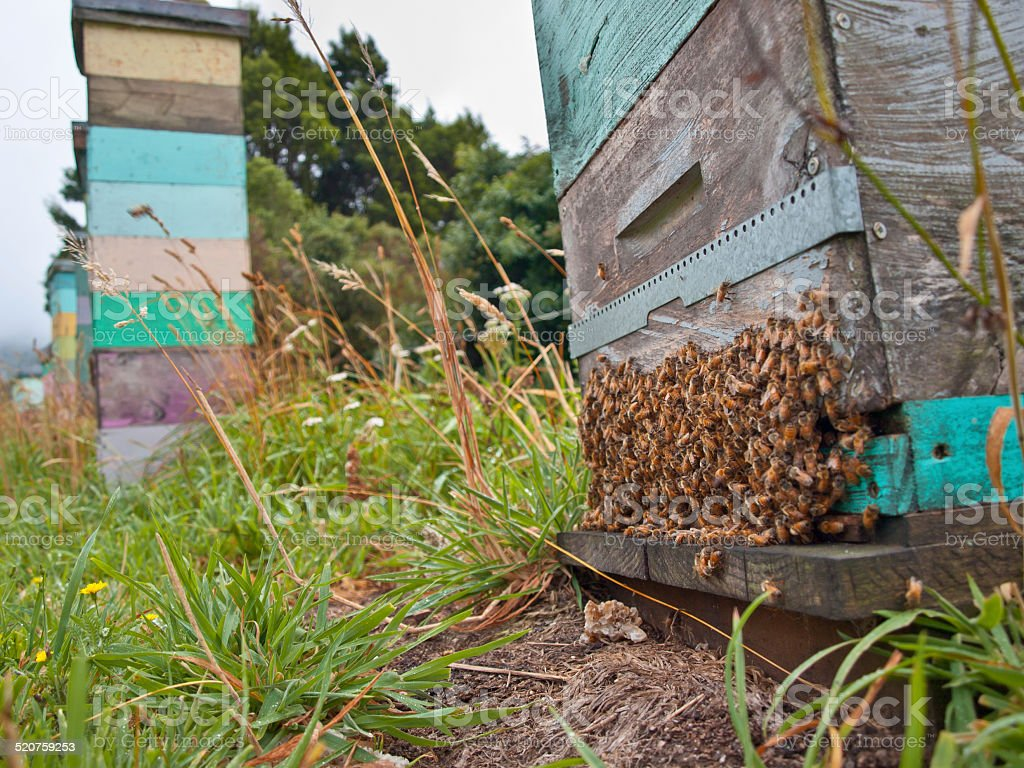 Group of Bees at the Entrance a Beehive stock photo