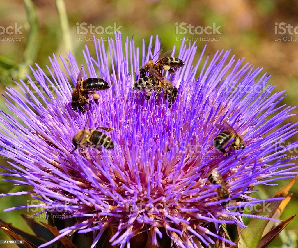 Group of bees collecting pollen on splendid artichoke flower stock photo
