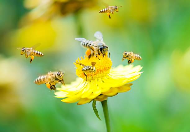 group of bees on a flower - bestuiving stockfoto's en -beelden