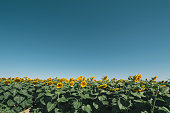 Group of bees working in sunflower fields