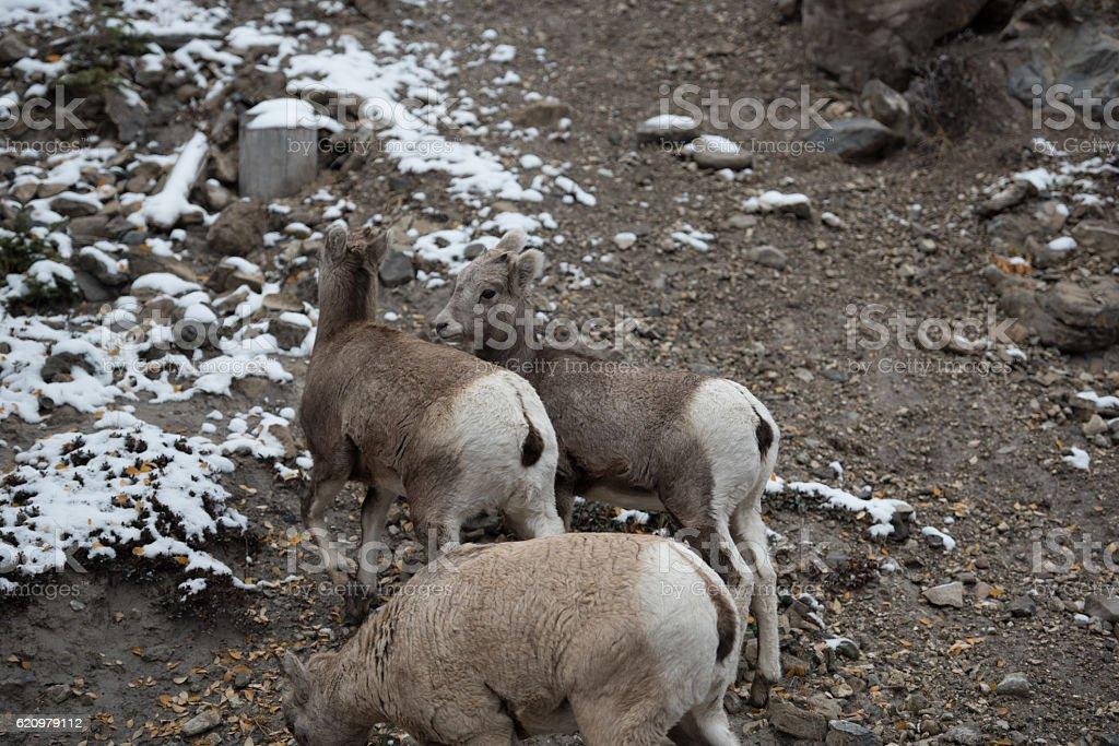 Group of big horn sheep foto royalty-free