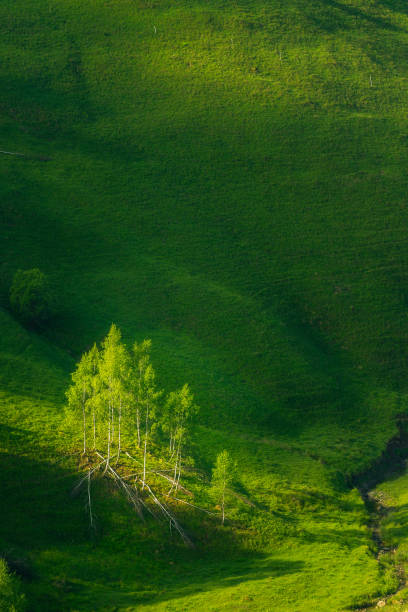 A group of birch trees isolated on a green hill as a background with soft sun light falling on them shot in Dumesti, Salciua, Alba County, Romania stock photo
