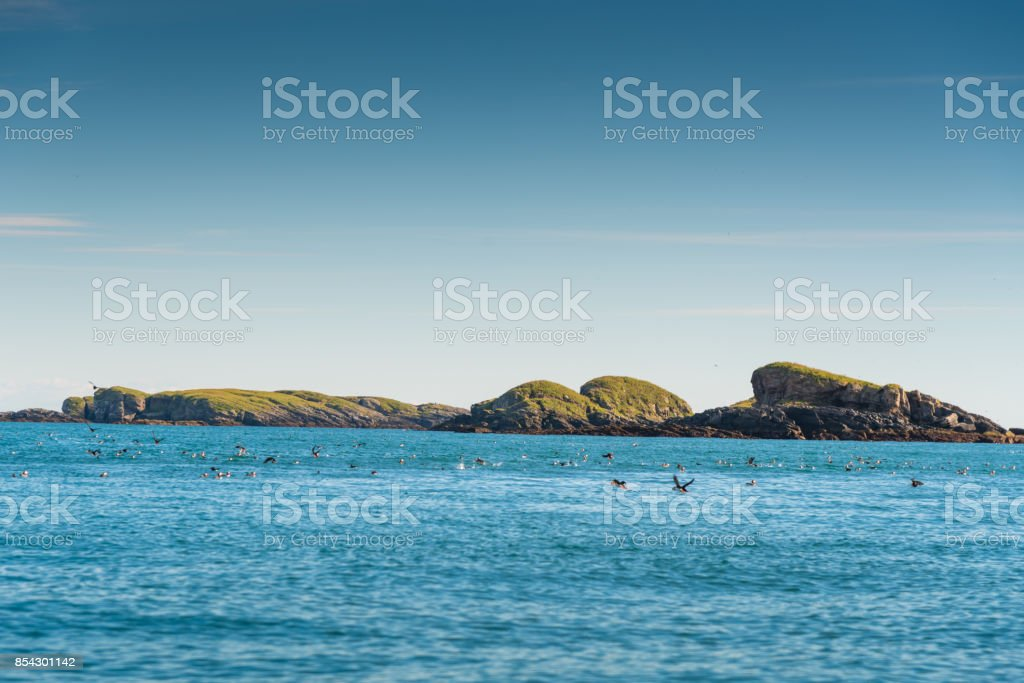 Group of bird seagull and puffin in summer lofoten norway stock photo