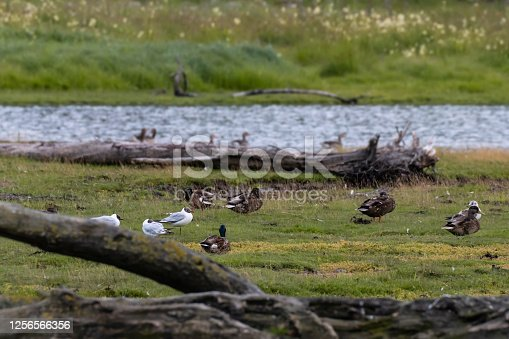 A group of birds relaxing in the green wetlands in Norway