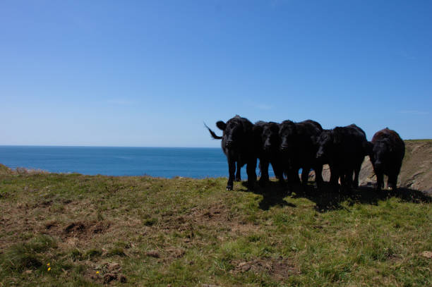 Group of black cows posing at the edge of a cliff in Pembrokeshire, Martin's Haven, UK. stock photo