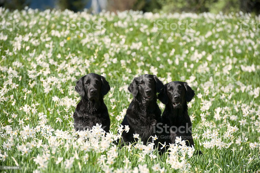 Group of black dogs in daffodils stock photo