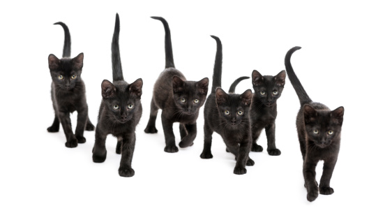 Group of Black kitten walking in the same direction