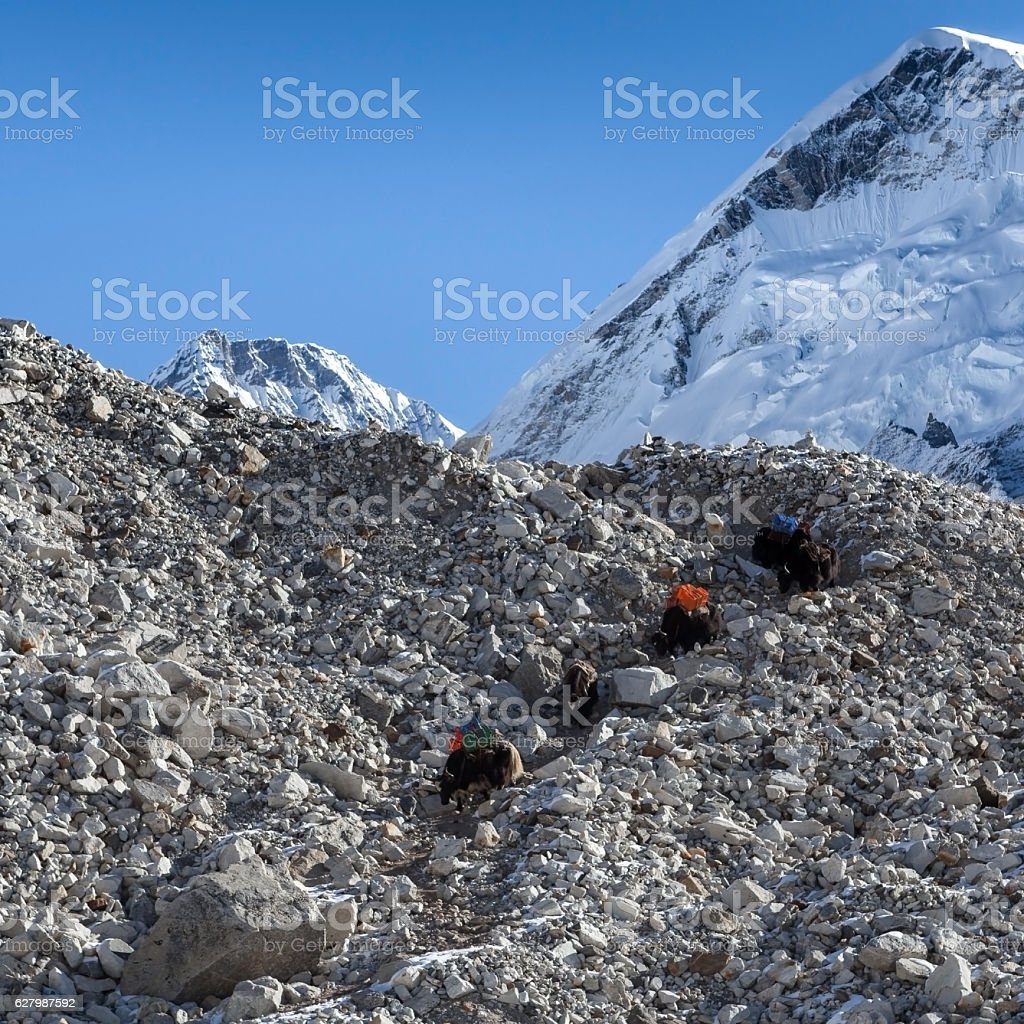 Group of black Nepali yaks carrying their heavy load stock photo