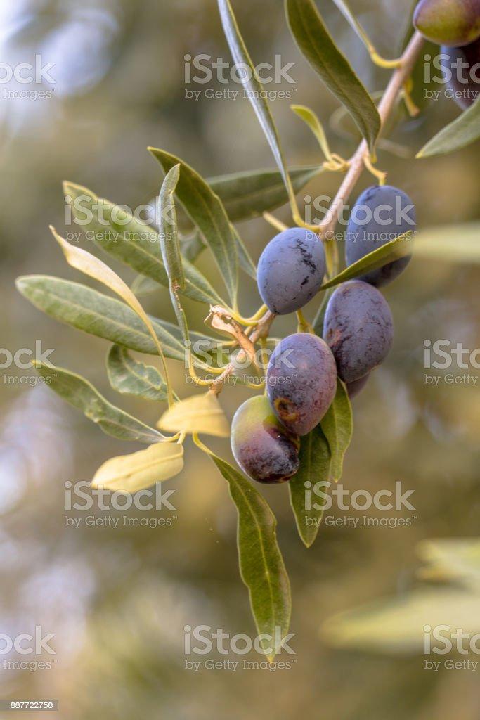 Group of Black olives on olive tree stock photo