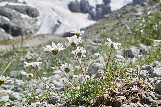 Gruppe von blühenden daisys in den Alpen – Foto