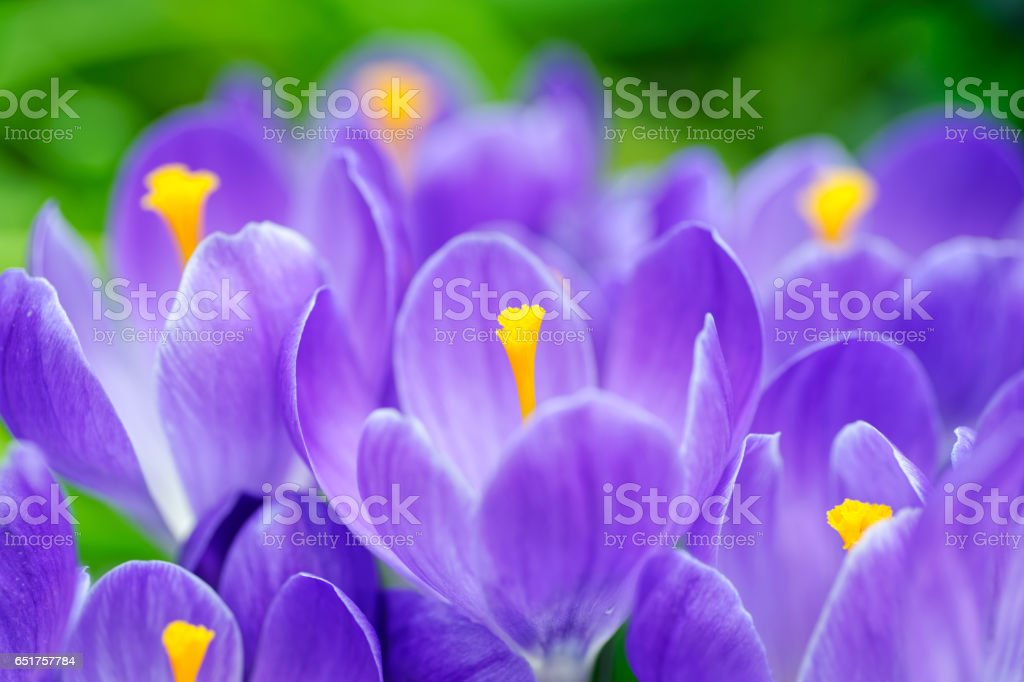 Group of blue crocuses royalty-free stock photo
