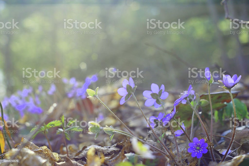 Group of blue early spring flowers (Common Hepatica) in woodland royalty-free stock photo