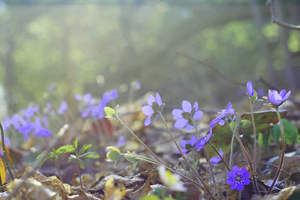 Group of blue early spring flowers (Common Hepatica) in woodland stock photo