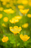 Group of Bright yellow buttercups. One picked out in focus  surrounded by out of focus flowers