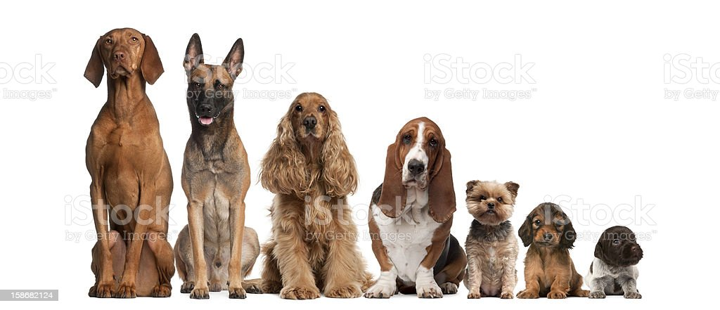 Group of brown dogs sitting, from taller to smaller stock photo