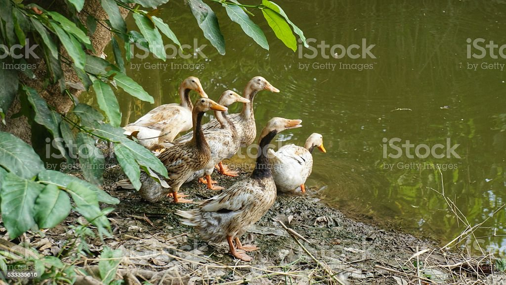 Group of Brown Ducks at Pond stock photo