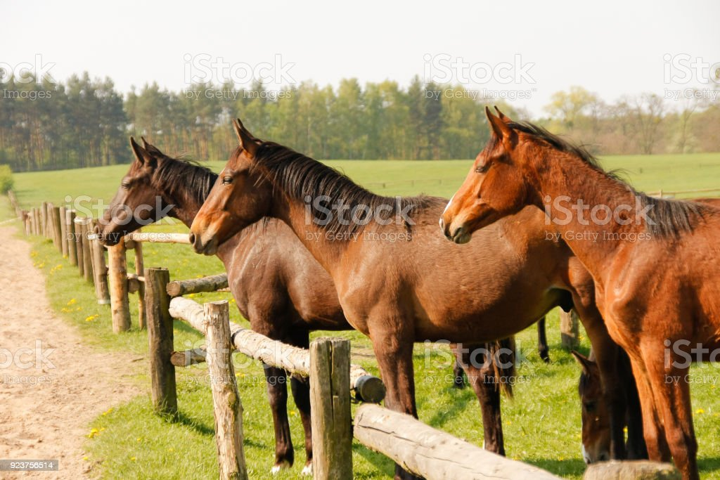 Group of brown horses on enclosure at the meadow pasture, standing side by side. stock photo