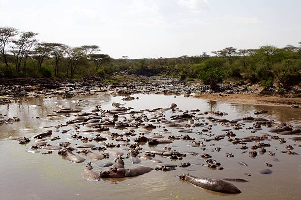 Group of Buffalo in river Group of Buffalo in river in Serengeti National Park, Tanzania antagonize stock pictures, royalty-free photos & images