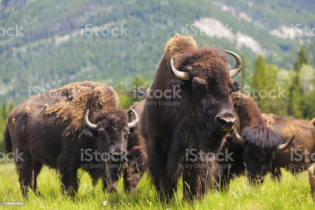 Group of buffalo or bison in a field stock photo