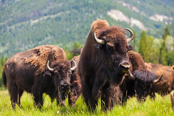 Group of buffalo or bison in a field bildbanksfoto