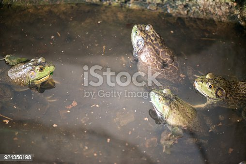 Group of bullfrogs in the swamp