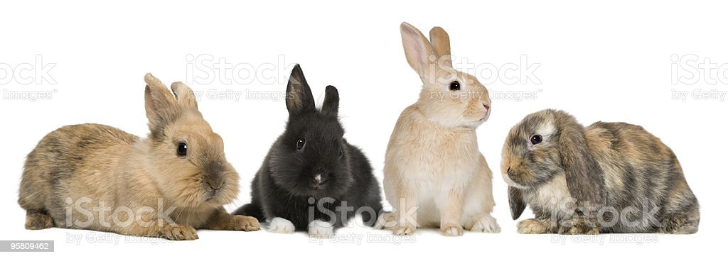 group of Bunny rabbits, studio shot stock photo