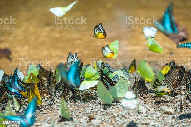Group of butterflies puddling on the ground and flying in nature picture id691347226?b=1&k=6&m=691347226&s=612x612&h=jyhlbklfsy03qwfabnhi58a 5ipuqtznkakn1svcbom=