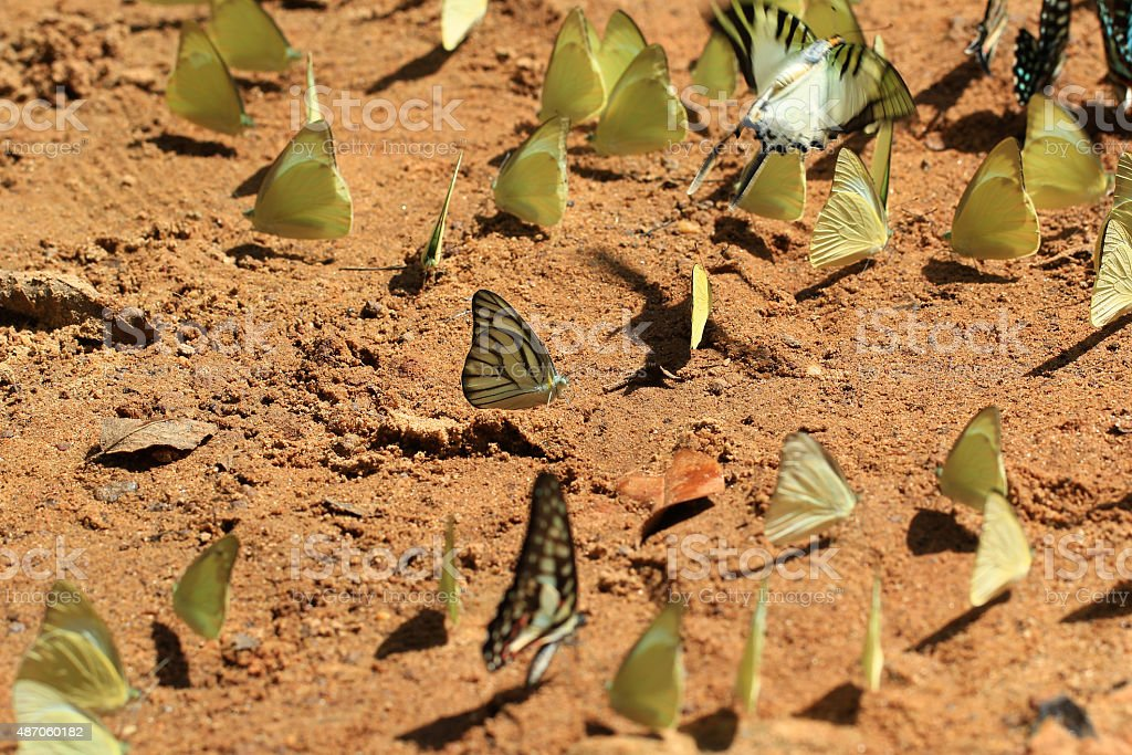 Group of butterflies puddling on the ground in nature stock photo