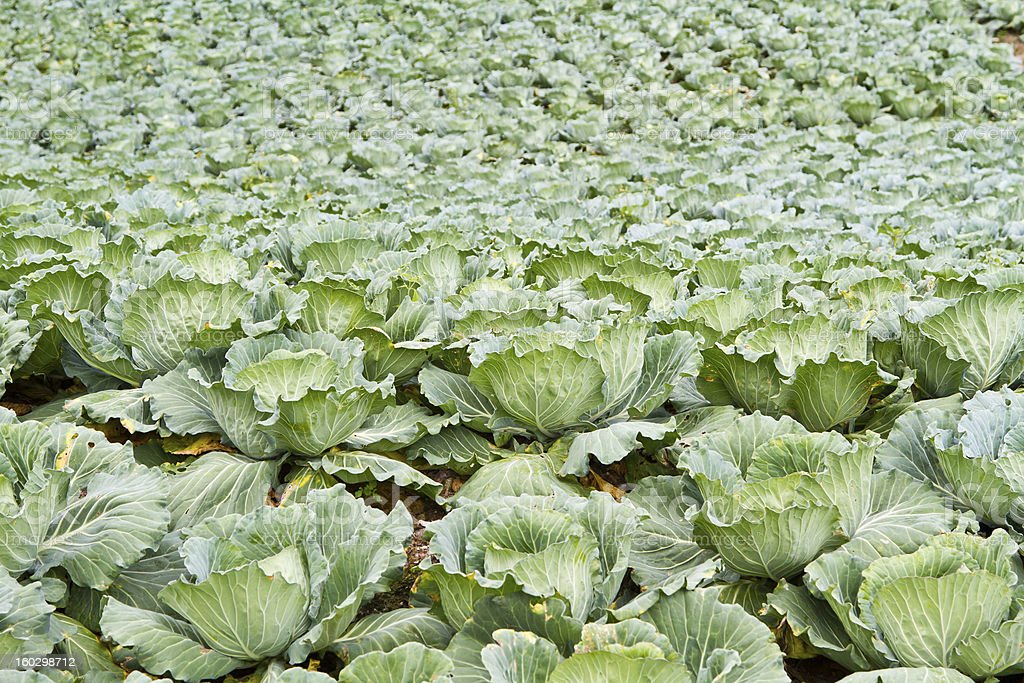 Group of Cabbage Vegetable Farm royalty-free stock photo