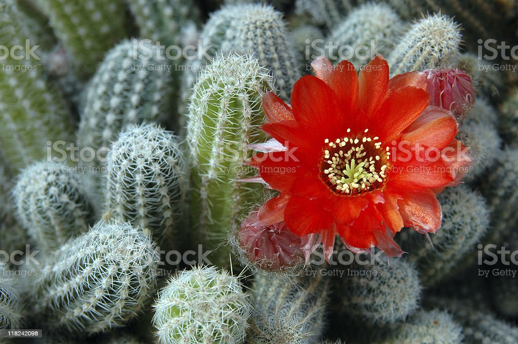 A group of cacti with a red flower blossoming within royalty-free stock photo