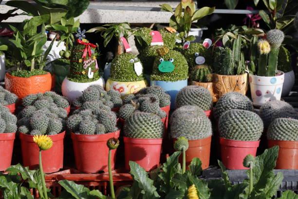 Gruppe von Kaktus in einem Topf – Foto
