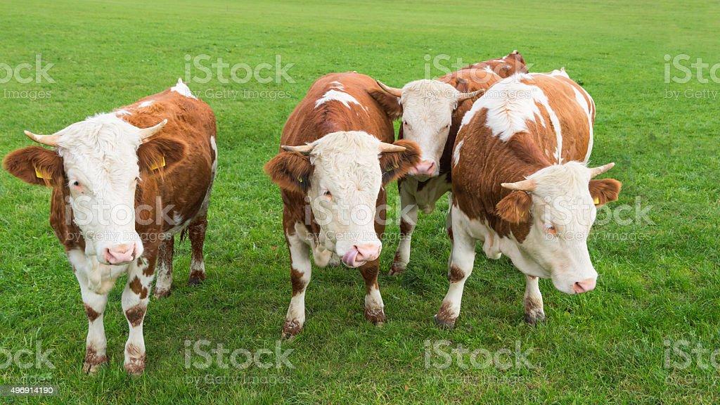 Group of calves grazing on Alpine pasture stock photo
