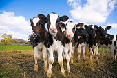 istock A group of calves in a green field facing the camera 471472053