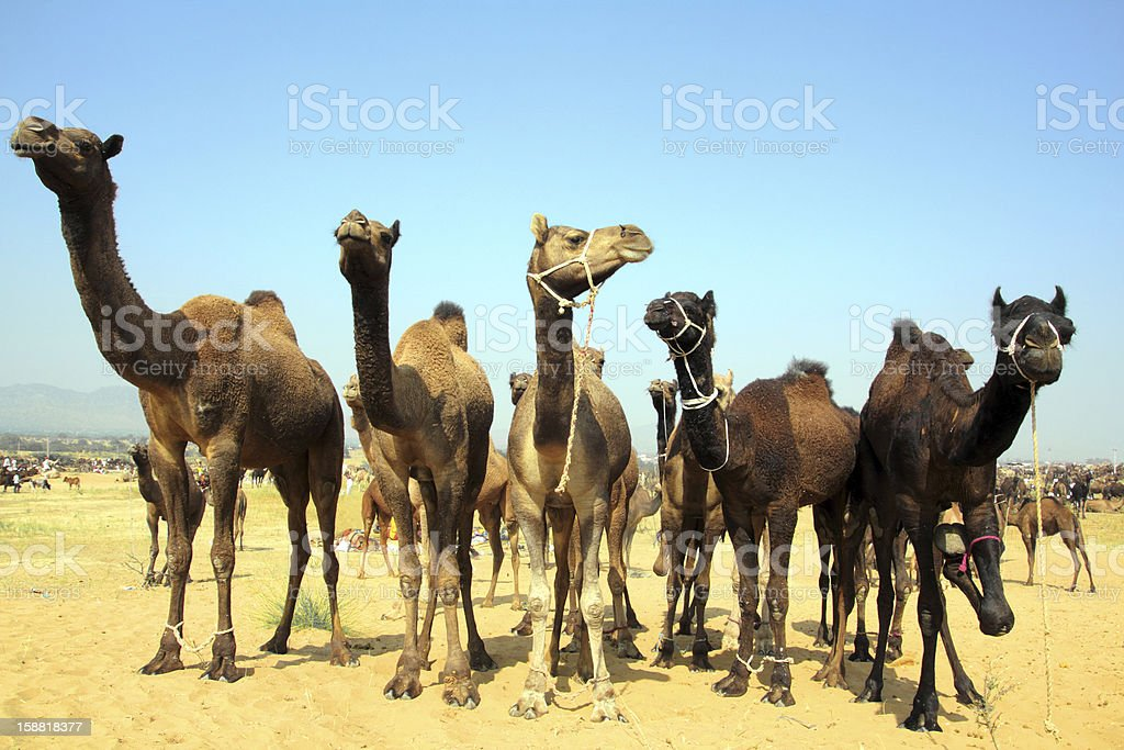 group of camels during festival in Pushkar royalty-free stock photo