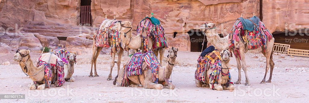 Group of camels in ancient city of Petra in Jordan foto