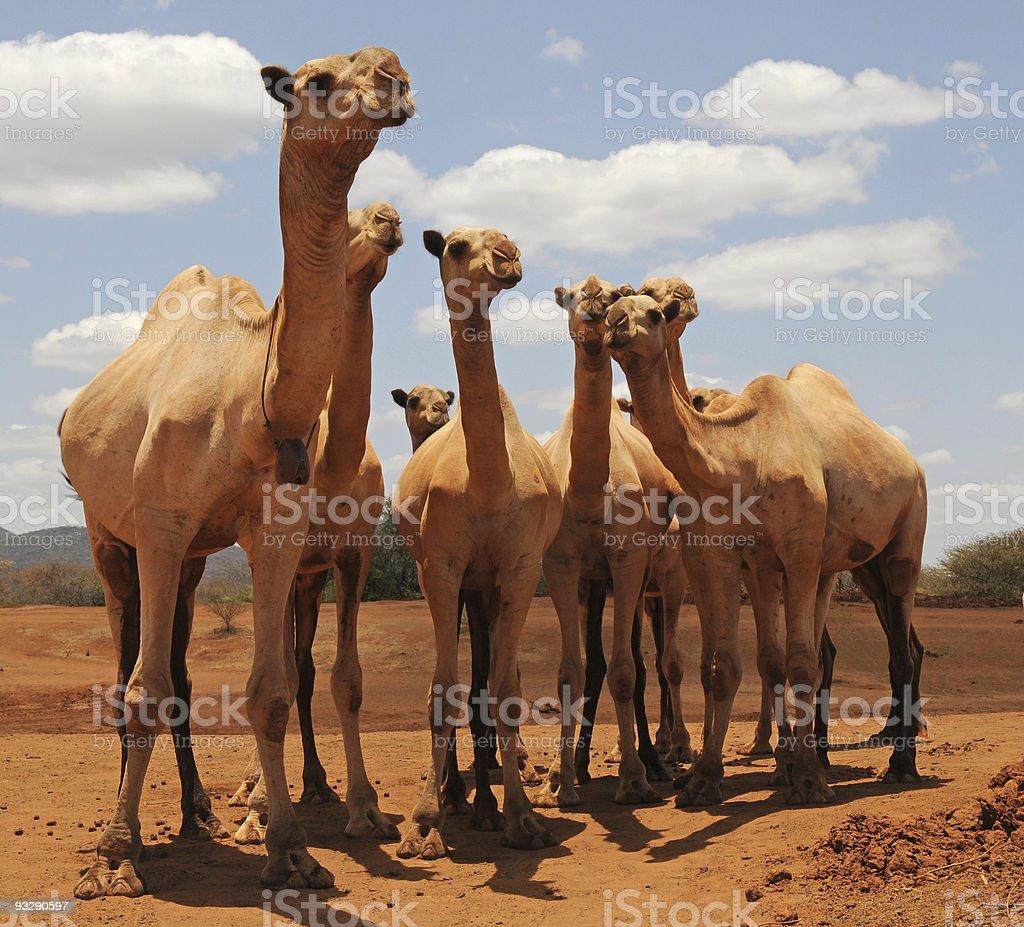 Group of camels, moyale, kenya stock photo