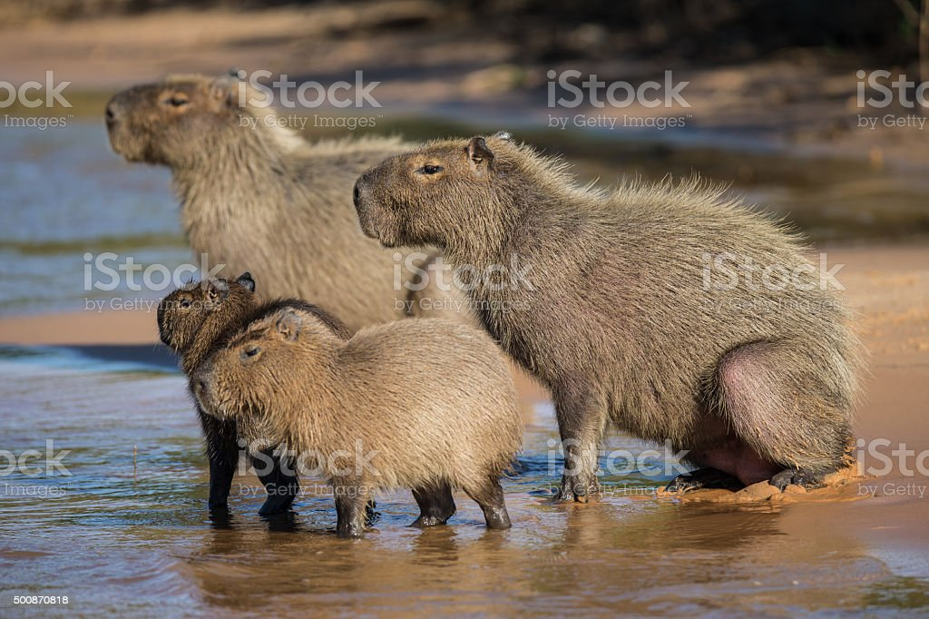 Group of Capybara on a river bank in Pantanal Brazil stock photo