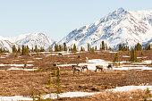 Group of Caribou in Remote Spring Landscape