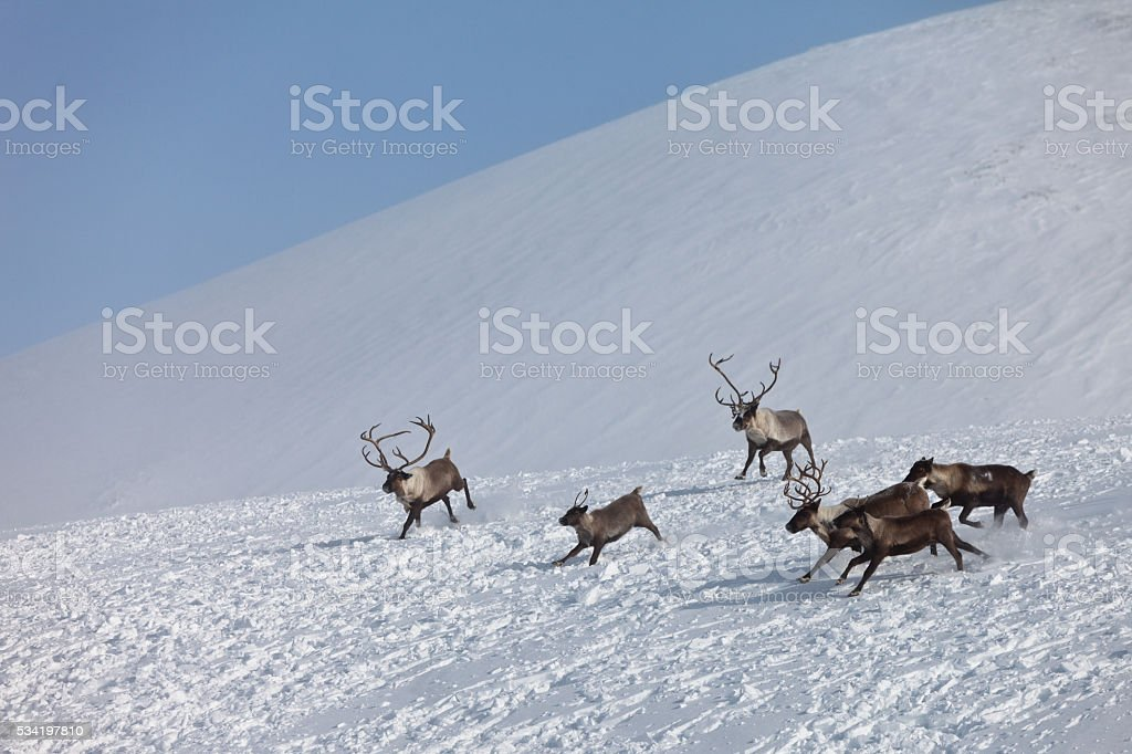 Group of caribou stock photo