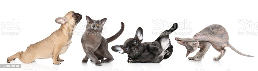 Group of cats and dogs in yoga poses stock photo