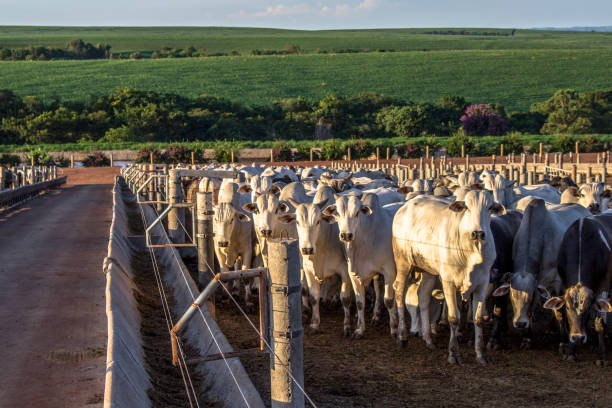 A group of cattle in confinement in Brazil stock photo
