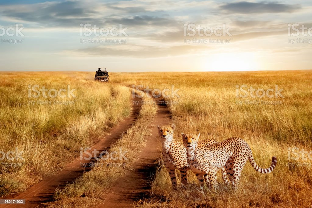 Group of cheetah in the Serengeti National Park on a sunset background. Wildlife natural image.  African safari. stock photo