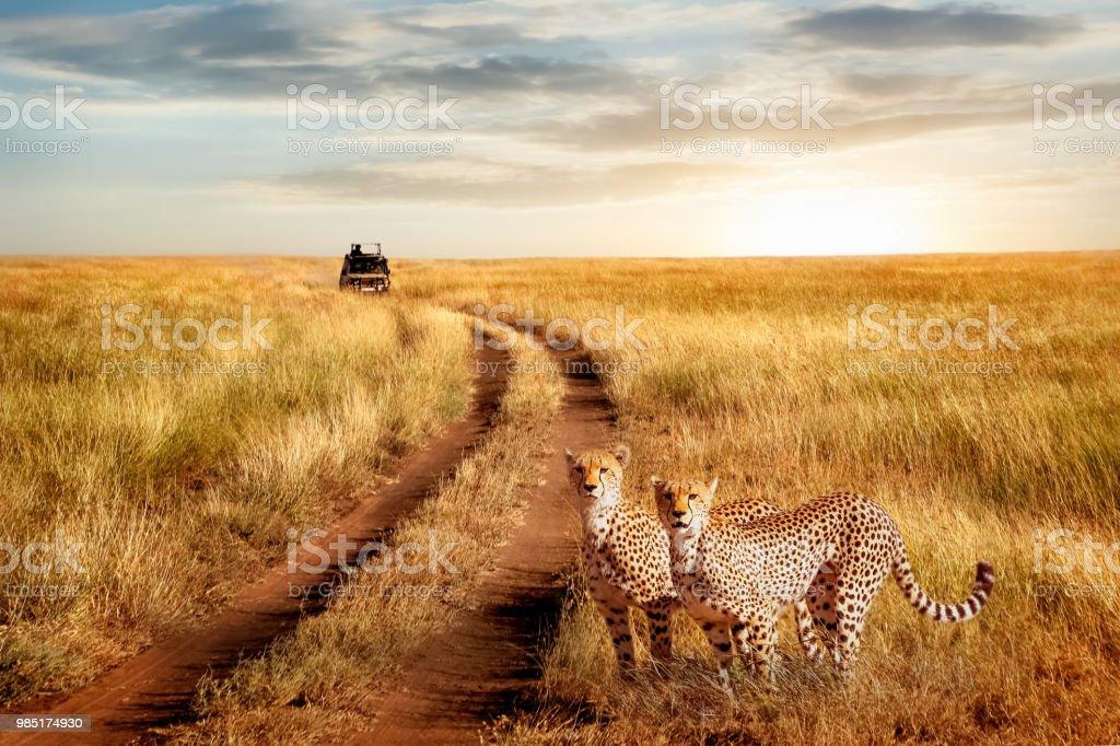 Gruppe von Geparden im Serengeti Nationalpark auf einem Sonnenuntergang Hintergrund. Tierwelt Natur Bild.  Safari in Afrika. – Foto