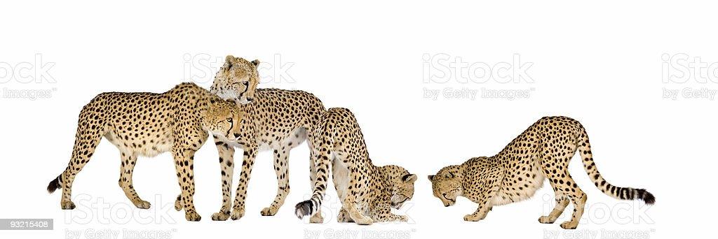 Group of Cheetas royalty-free stock photo