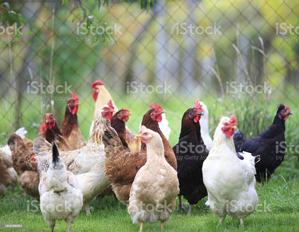 Group Of Chickens royalty-free stock photo